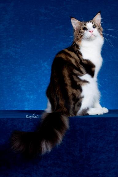 1Malaysia Cat Show-340-1