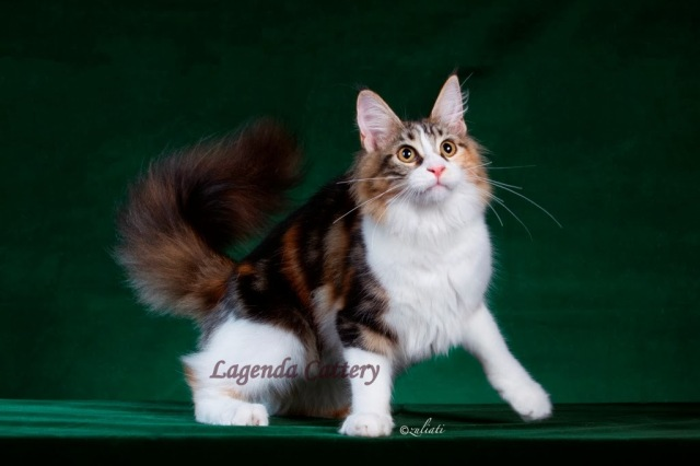1Malaysia Cat Show-095-019